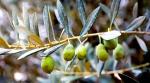 Spain-olive-tree